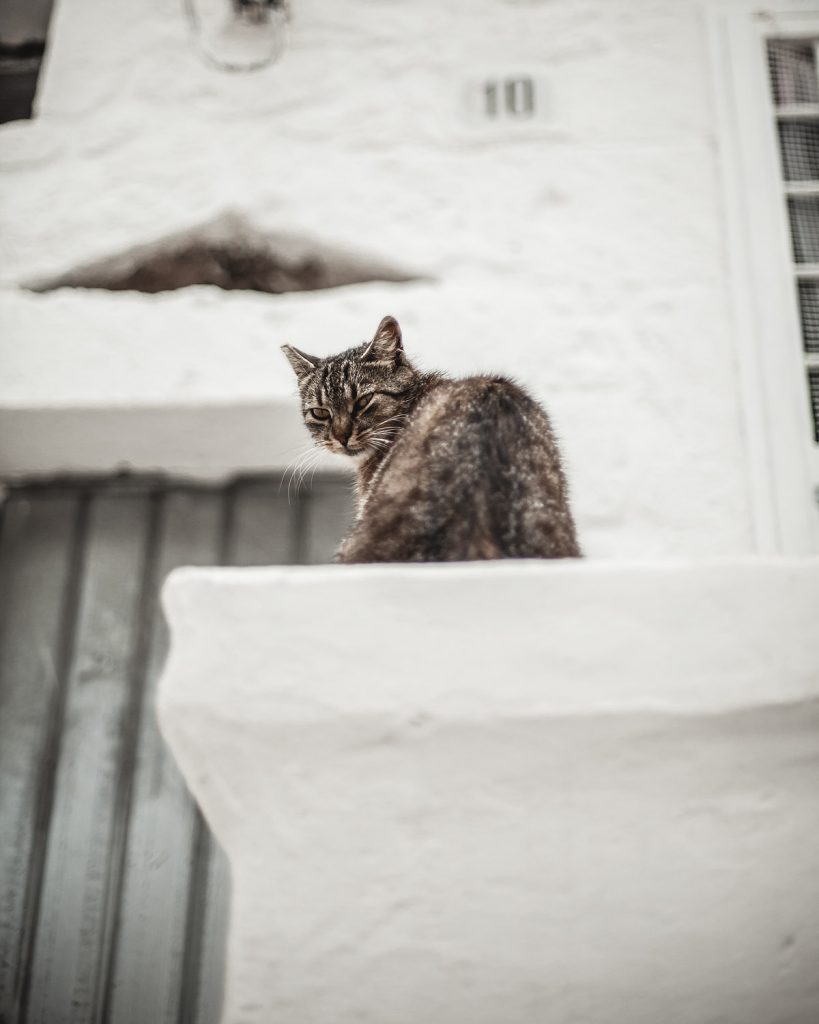 cat, Ostuni, white pearl of Puglia