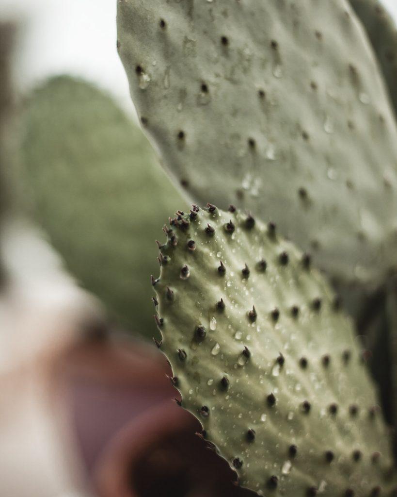 Trullo, Italy, Puglia, nature, cactus