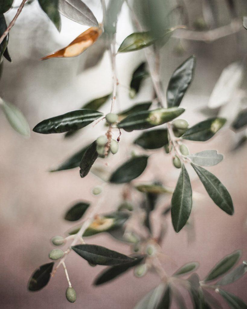 Trullo, Italy, Puglia, nature, olive tree